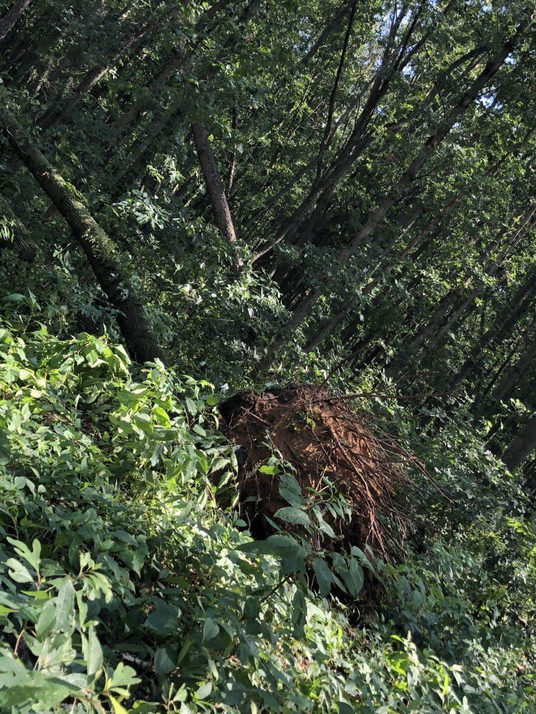 Oak tree Hamscher Homestead