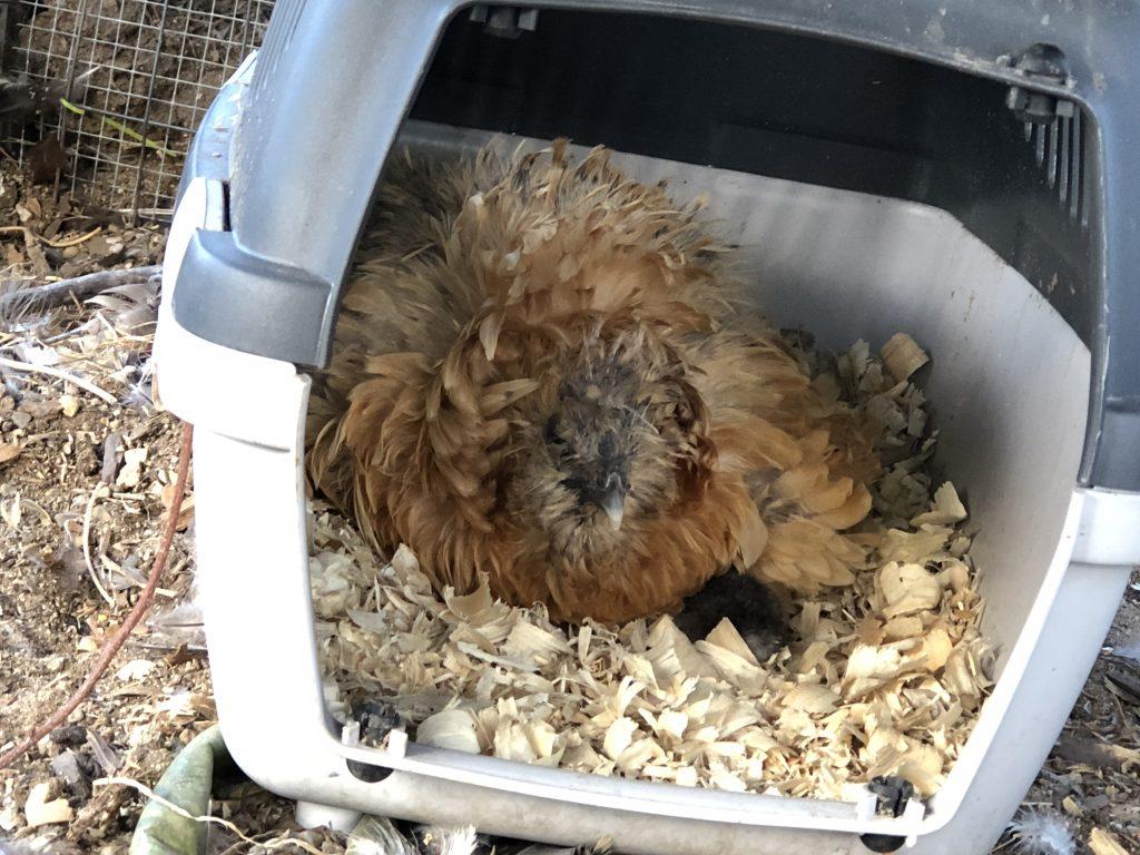 LuLu hatching babies