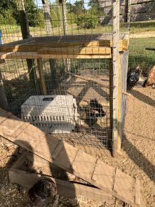 Hamscher Chickens
