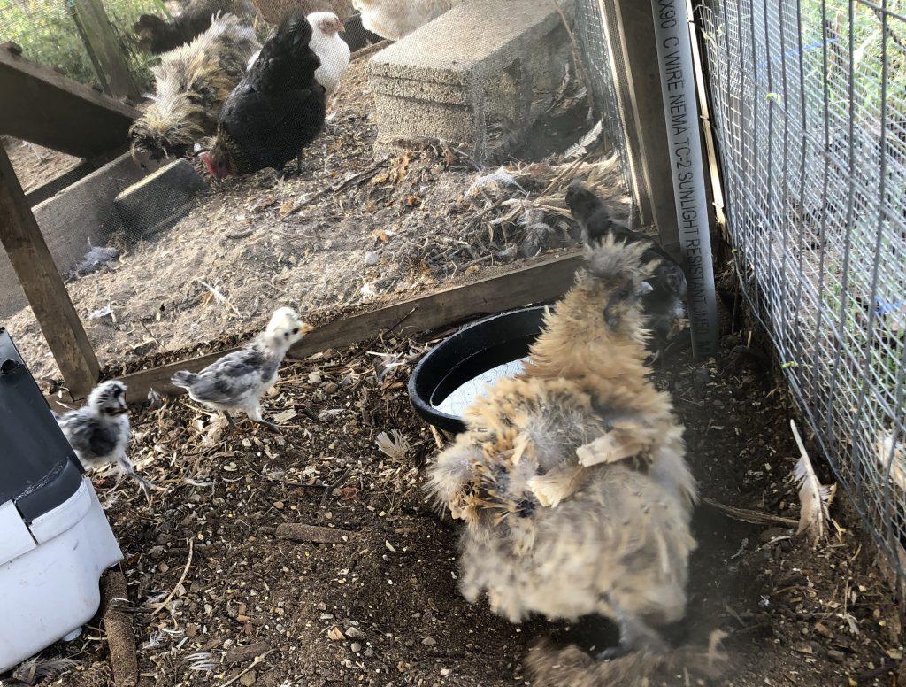 Hamscher Homestead Chicks