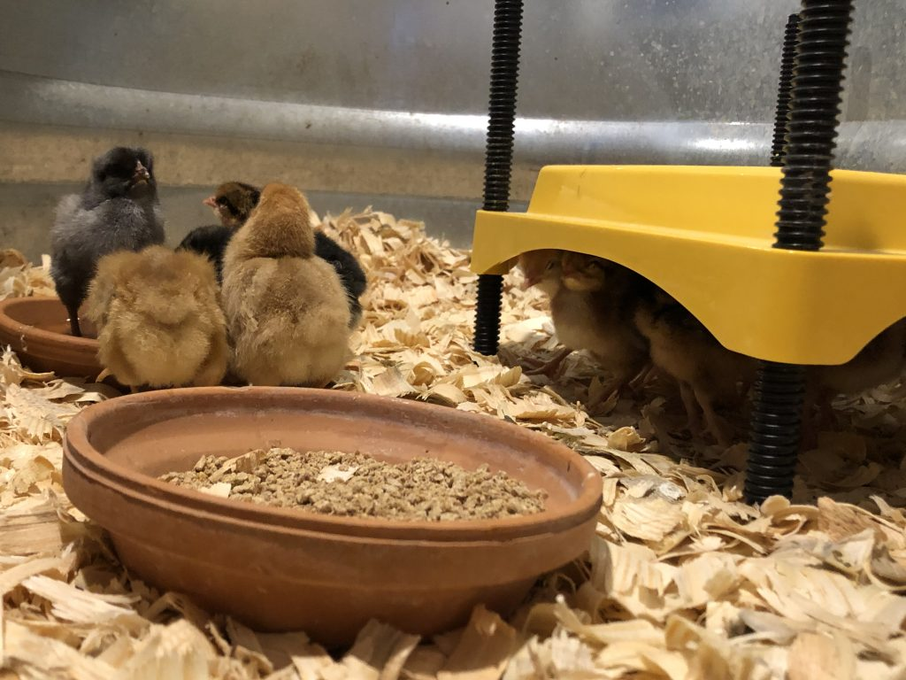Helper Baby Chicks Snoopervisor