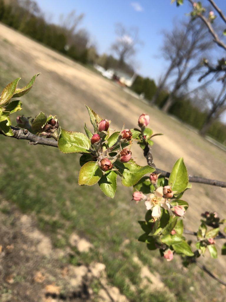April Snow Flowering Trees